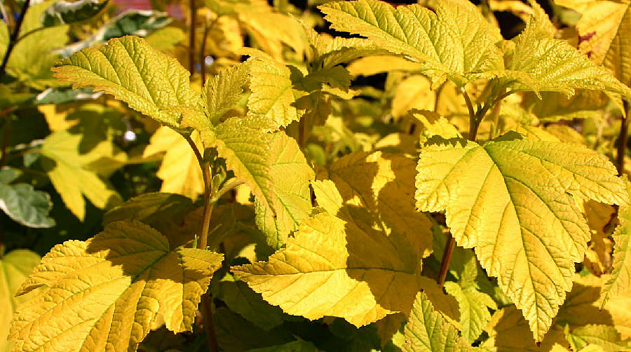 Physocarpus Angel Gold
